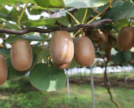 Киви каждый день - огромная польза экзотического фрукта для здоровья