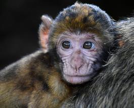 Забавная неразлучная парочка: в Индии собака усыновила осиротевшую маленькую обезьяну