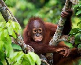 Российский турист арестован на Бали за попытку вывезти с острова детеныша редкой обезьяны