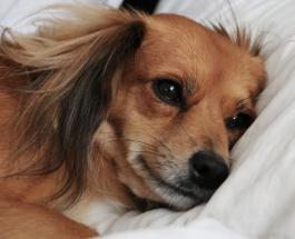 Сон с собакой: польза или вред для человека