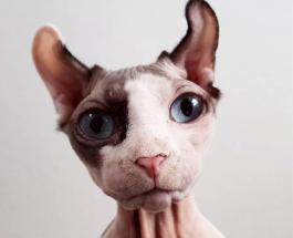 Кошки без шерсти – красота и оригинальность внешности породы сфинкс