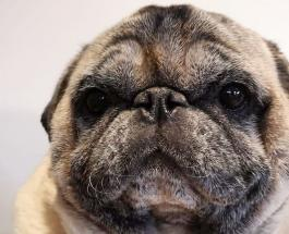 Самый толстый в мире мопс: топ-10 милых фото животного с нестандартным телом