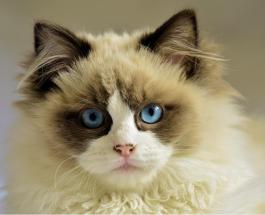 7 самых распространенных мифов про кошек