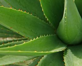 Алоэ Вера - 5 удивительных фактов о чуде природы