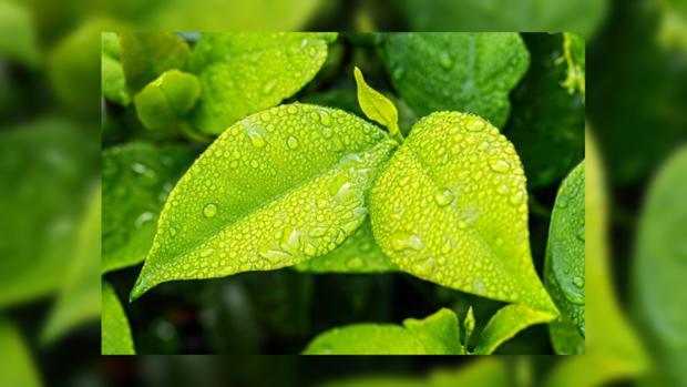 листья в каплях