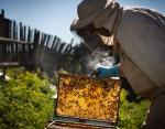 День пчел: ценность насекомых производящих один из самых полезных продуктов