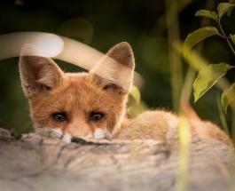 Забавное видео про животных: детеныши лисицы весело резвятся на батуте