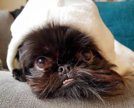 Новая звезда Инстаграм: песик породы бельгийский гриффон невероятно фотогеничен