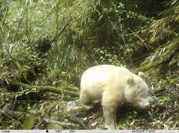 белоснежная панда