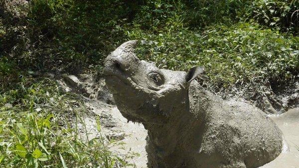 Скончался  Тэм— последний самец суматранского носорога. сейчас  вид находится награни уничтожения