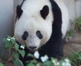 Знаменитая панда Сян Сян: Токио и Китай договорились о судьбе животного