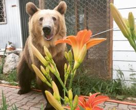 Медведь Семен  - большой любитель творога: забавное видео с участием домашнего хищника