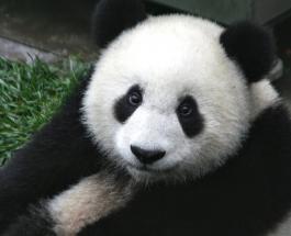 Панды-близнецы родились в Китае: малыши оказались рекордно крупными и очень забавными