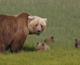 Милое семейство медведей попало на видео во время перехода через дорогу