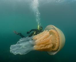 Гигантская медуза размером с человека впечатлила даже опытного дайвера