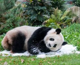 Праздничный торт для панды: забавное видео с животным-именинником