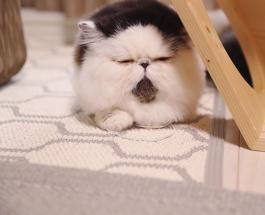 Фото животных: экзотический кот с