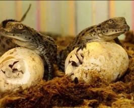 Нильские крокодилы Сеня и Джемма стали родителями – счастливое событие в зоопарке Харькова