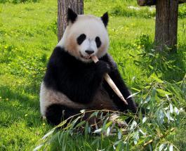 В зоопарке Бельгии радуются редкому явлению – рождению двух детенышей гигантской панды