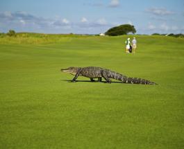 Видео встречи игрока в гольф и огромного аллигатора стало вирусным в Сети