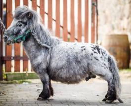 Самый маленький конь в мире по кличке Бомбель живет в Польше