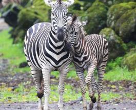 Зебра в горошек: редкие фото детеныша с недостатком меланина