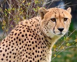 Популяция гепардов в Африке оказалась под угрозой вымирания из-за прихоти богатых арабов