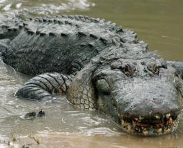 Десятки аллигаторов вырвались из заповедника в результате наводнения в Техасе