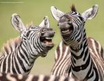 Две играющие зебры, будто смеются в камеру