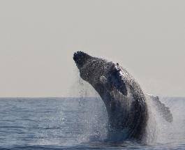 Тушу 10-метрового кита вытащили из Темзы: что стало причиной гибели животного