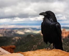 Разговорчивая ворона стала звездой Сети: не в меру умная птица говорит по немецки