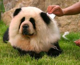 Собаки – это не панды: китайские зоозащитники требуют прекратить перекрашивать животных
