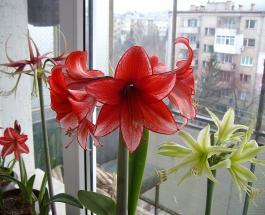 Как добиться цветения лилий в квартире в зимнее время года: полезные трюки и хитрости