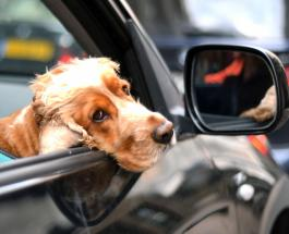 Пример заграницы: в Британии планируют штрафовать водителей с не пристёгнутыми животными