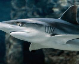 Необычное поведение акулы-артистки проплывшей на спине сняли на видео в Австралии