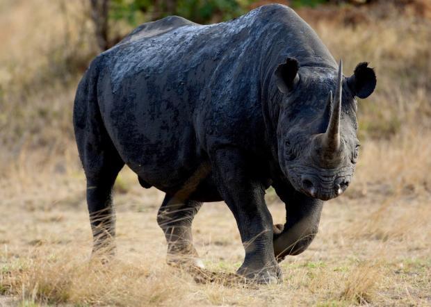 чкрный носорог