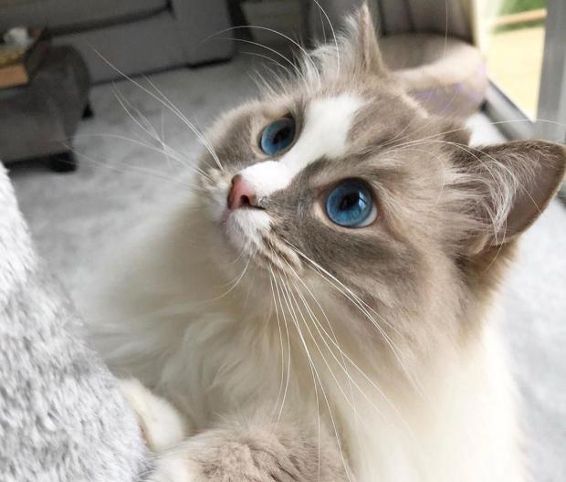 Какие породы кошек подходят для квартиры лучше всего
