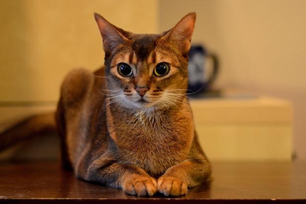 Самые ласковые породы кошек питомцы с огромным сердцем