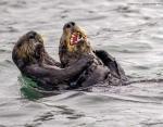 Энди Харрис «Морские выдры: бой щекотками»