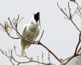 Занятное видео: крик самца бразильской птицы способен заглушить симфонический оркестр