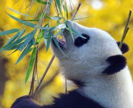 9 ноября в истории: в Китае обнаружили гигантскую панду и родился Иван Тургенев