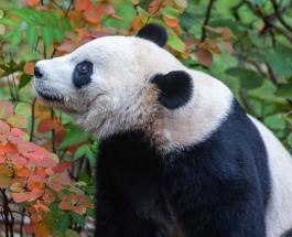 Знаменитая панда Бэй Бэй покидает Вашингтон на частном самолете - животное летит домой