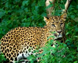 Нападение леопарда на проезжающий мотоцикл попало на видео