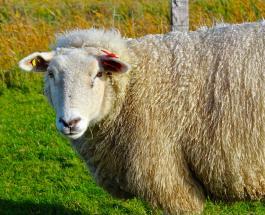 Более 14 000 овец утонули в Черном море: власти Румынии подверглись критике зоозащитников