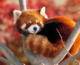 Красная панда сбежавшая из зоопарка во Франции вернулась домой погуляв 10 дней на свободе