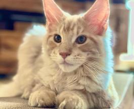 9 интересных фактов о кошках породы Мейн-кун