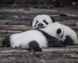 Берлинский зоопарк впервые показал двух детенышей панд и назвал имена близнецов