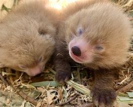 4 детеныша вымирающих видов животных родились в зоопарке Австралии