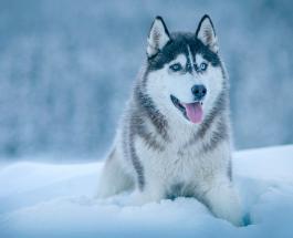 Умные, но очень упрямые: интересные факты о собаках породы хаски