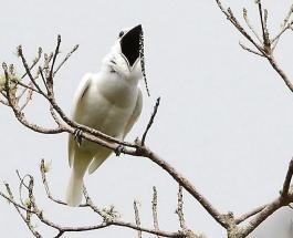 Знаете ли Вы: какая птица считается самой громкой в мире